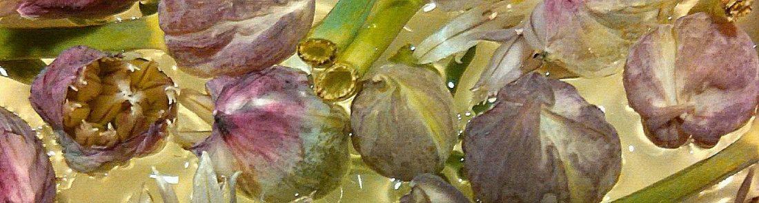 long onionflowerheads IMG051816
